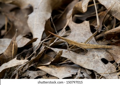 A toothpick grasshopper hiding among fallen oak leaves in a forest