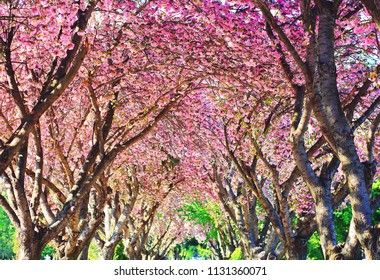 Top of blooming cherry trees in spring