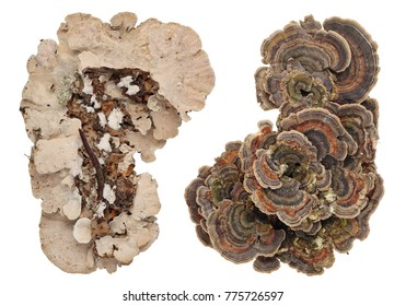 Top and bottom views of colonies of common European forest tree fungi. Isolated on white studio set