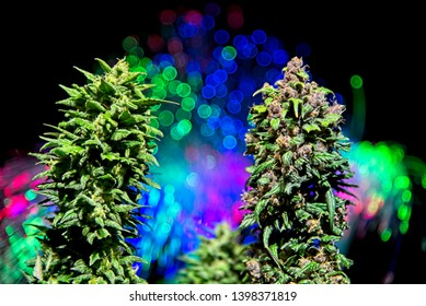 Top buds of two different phenotypes - purple and green - of same strain cannabis plant side by side on dark background with out of focus colorful lights