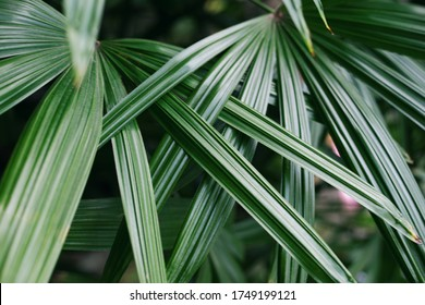 Top closeup view of leaves saw palmetto, abstract leaves texture