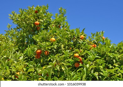 Top of the crown of an orange real tree with ripe fruits against the blue sky. Sunny May Spanish day outdoor shot