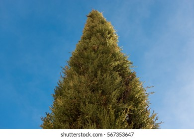 Top of a cypress tree and blue sky