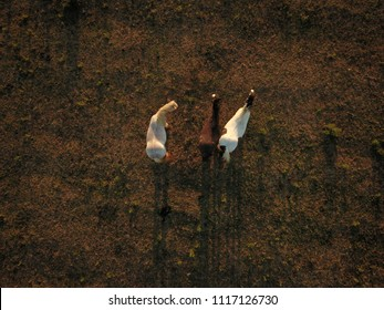 Top down aerial drone image of horses in a green field during a golden hour sunset.