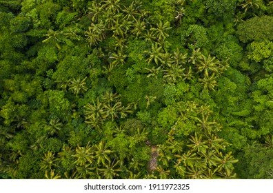 Top down overhead aerial birds eye view of tropical rainforest palm tree canopies in the lush green jungle