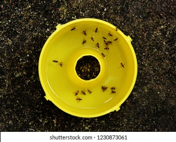 Top down view of the base reservoir of a pheromone insect pest trap containing Queensland fruit flies (Bactrocera tryoni) drowned in water.