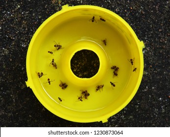 Top down view of the base reservoir of a pheromone fly trap containing Queensland fruit flies (Bactrocera tryoni) drowned in water.