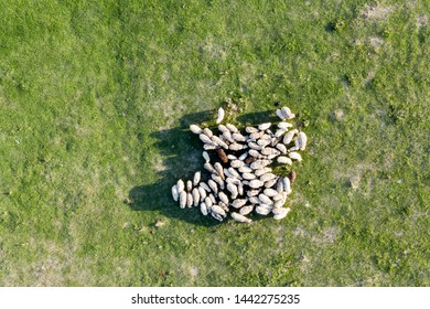Top down view of bunch of sheep on green fresh grass