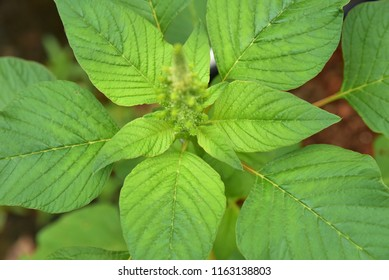 Top down view of a Green amaranth (Amaranthus viridis), a leafy vegetable popular in south India.