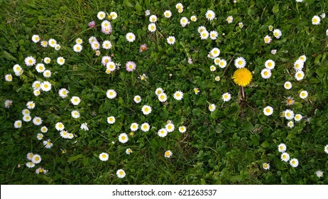 top down view on meadow with daisies and one dandelion