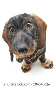 Top frontal view of Dachshund cross dog
