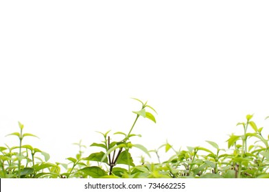 top green leaves on white background in the garden