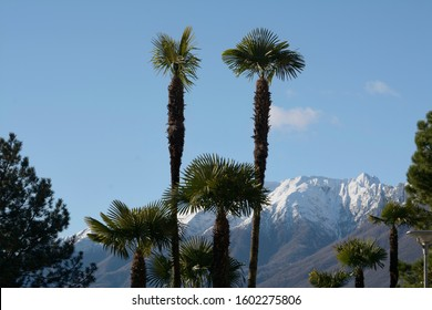 The top  of a green palm tree on the background of snow capped mountains