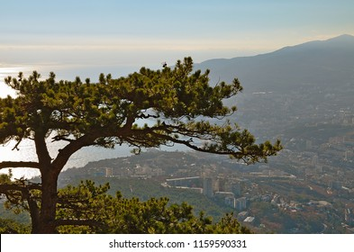 Top of the green pine at background of the sparkling sea. View from the height to the Yalta city on Black Sea coast in Crimea. Light clouds on a blue sky and a mountainside on horizon.