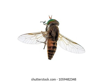 Top of a horse-fly, a true fly in the family Tabanidae in the insect order Diptera. They are often large and agile in flight, and the females bite animals, including humans, to obtain blood