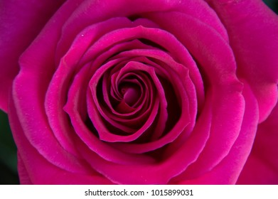 top natural photography of the center of a beautiful bright fuchsia pink rose detailed