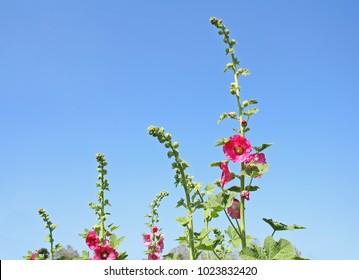 Top of  pink Hollyhock flowers on vivid blue sky