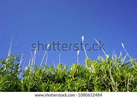 Top of the plant reed grass and green leaves of Mediterranean plant Myrtus communis, myrtle, with sky in turquoise blue color, photographed on the Croatian Island of Pag. Colorful nature background