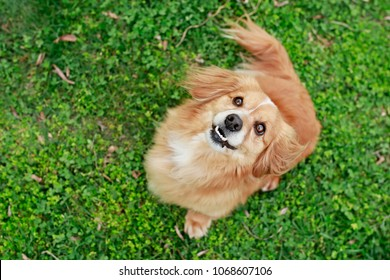 Top portrait of cute little young mixed breed brown reddish dog looking up, reflection in eyes, open mouth with white teeth, sitting on fresh green grass, background, copy space