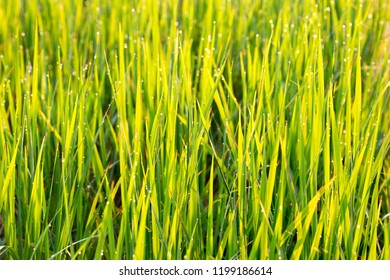 The top of the rice leaves beautiful in the morning.