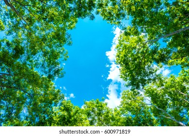 Top of rubber tree and rubber leaf and blue sky background in southern of Thailand.