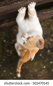 Top shot of beautuful white ginger kitty  standing on its back legs only and sharpening claws on wooden fence