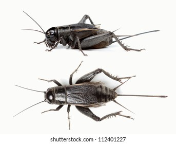 Top and side view of black cricket isolated on white background