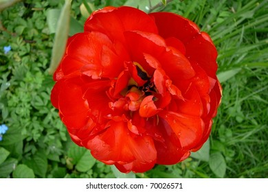 Top of Single Red Tulip Flower