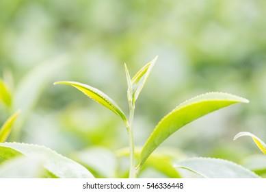 top of tea leaf in tea plantation