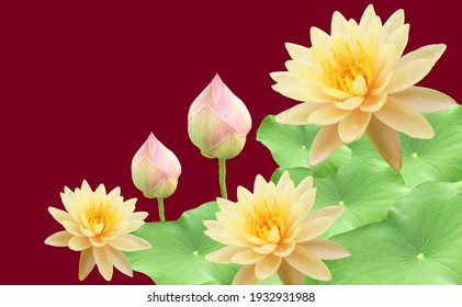 Top veiw, White lotus flowers bloom on green leaves and purple waterlily bud isolated darker red background, floral spring summer
