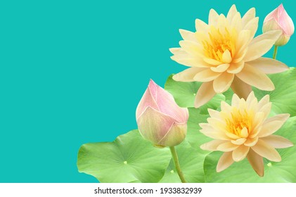 Top veiw, White lotus flowers bloom on green leaves and purple waterlily bud isolated pure cyan background, floral spring summer
