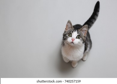 Top Viefw at cute gray and white cat cat sitting on gray background, looking at camera