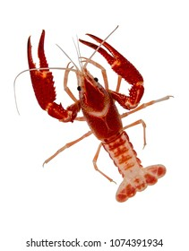 Top view action portrait of a pet Red crayfish (Procambarus clarkii) is a species of cambarid freshwater crayfish, Isolated on white background
