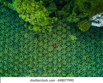 Top view aerial shot of the palm grove looks like texture