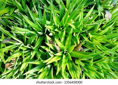 Top view of Aloe Vera in the garden as a background, Tropical green plants (Lilium,  Asphodelaceae, alovera,  Plantae)