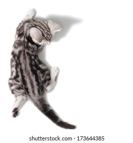 Top view  American Shor thair Cat on white background