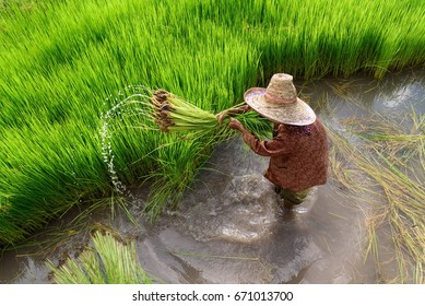 Top view Asian woman farmer working in rice field.High speed shutter for stop the water.