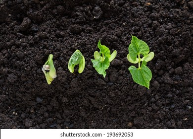 top view of bean seed germination in soil