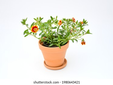 Top view beautiful colorful petunia grandiflora flower in red-orange border peatal with green leaves growing and blooming on white background. idea plant for balcony in summer season.