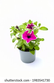 Top view beautiful colorful pink violet petunia grandiflora flower in  peatal with green leaves growing and blooming on white background. idea plant for balcony in summer season.
