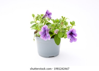 Top view beautiful colorful  violet petunia grandiflora flower in  peatal with green leaves growing and blooming on white background. idea plant for balcony in summer season.