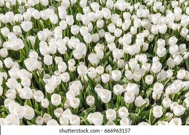 Top view of beautiful field of white tulips