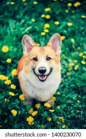 top view of a beautiful little puppy with a dirty nose red Corgi stands in a meadow with yellow dandelions
