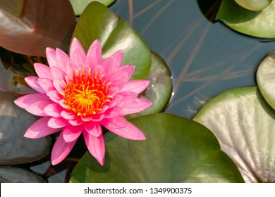 Top view of beautiful pink lotus flower with yellow pollen blooming in pond on strong sunlight.