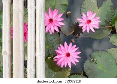 Top view of Beautiful Pink Lotus in pond