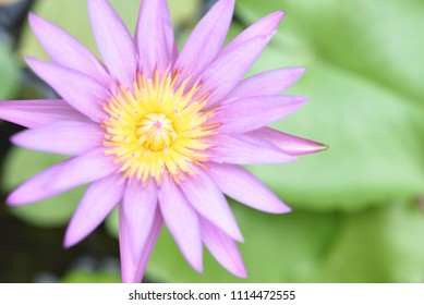 Top view of beautiful purple water lily is blooming. Close up of lotus flower and leaves in pond.