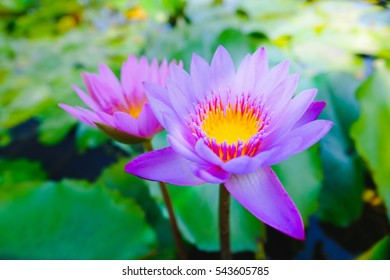 Top view of beautiful purple water lily or purple lotus flower blooming on the water in garden,Thailand. Selective focus with blurred background.