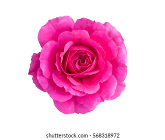 Top view beautiful shocking pink rose stock photo edit now top view of beautiful shocking pink rose with sun light isolated on white background with clipping mightylinksfo