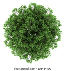 top view of black locust tree isolated on white background
