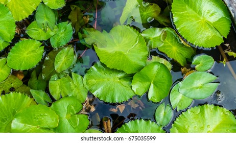 top view blackground Lotus leaves in pond